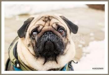Dog breed pug. Portrait of a pet Картини в рамка